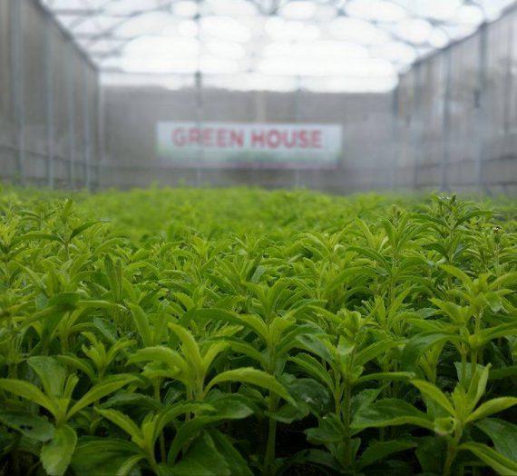 1st Stevia grower-manufacturer bullish on financial outlook despite the pandemic